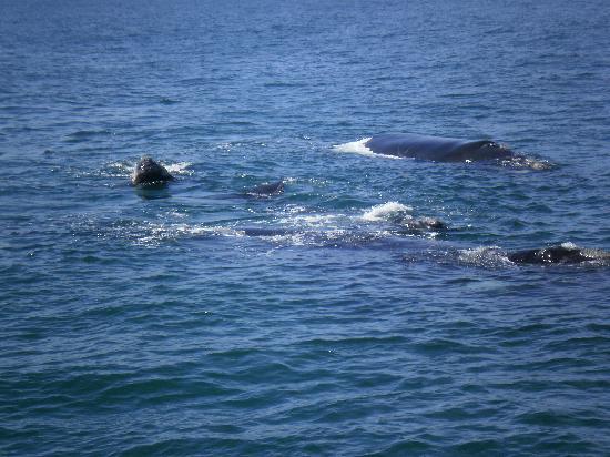 Hermanus, Sør-Afrika: southern right whale