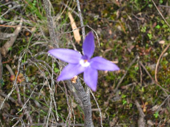 Aquila Mount Abrupt Eco Lodges: One of many wild orchids that grow here