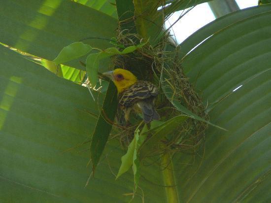 Anjajavy L'Hotel: weaver bird in the oasis