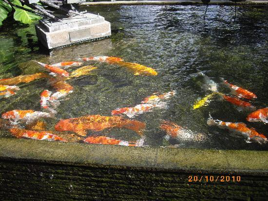 Padma Resort Legian : lots of fish around resort
