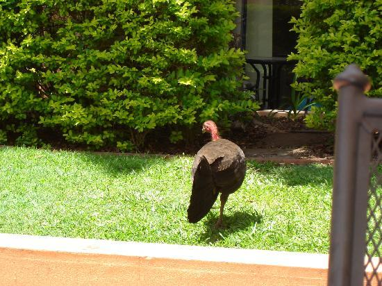 Bella Mare Apartments : A bush turkey roaming free