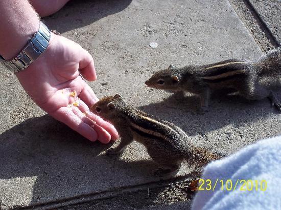 Villa Ocean View Hotel: the friendly chipmunks around the pool area.