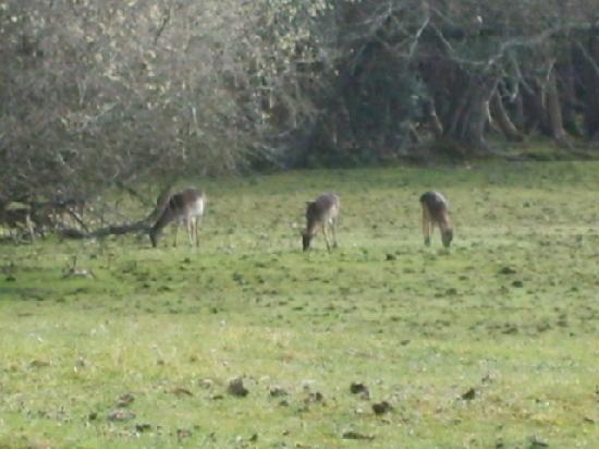 Ormonde House Hotel: Deers in the New Forest
