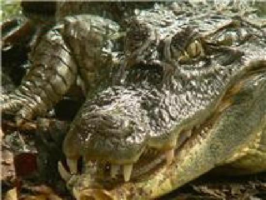 Las Islas Lodge : cocodrilo del manglar