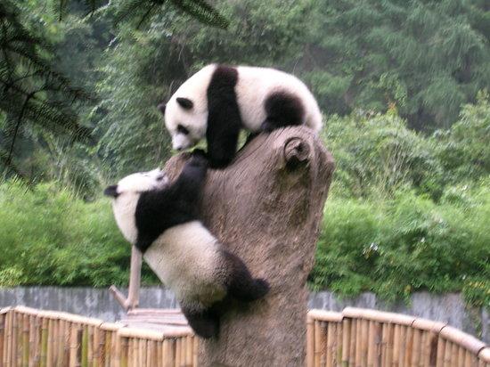 Wenchuan County, China: Deux jeunes pandas(moins de deux ans)dans un enclos