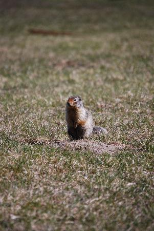 Nipika Mountain Resort: Ground Squirrels