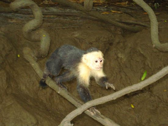 Playa Hermosa, Kosta Rika: white faced monkey