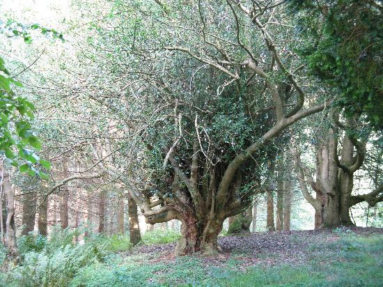 Alnwick, UK: Old trees on the walk to the lake