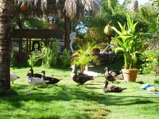 Finca Maribel : Enten auf Freigang