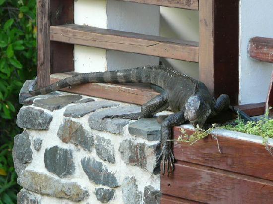 Le Manganao Hotel Club Paladien: iguane près de la reception