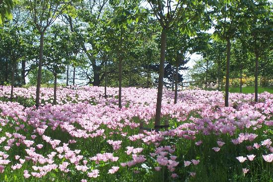 Tate House: Alnwick Gardens - The Cherry Orchard underplanted with acres of tulips in spring