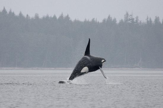 Ocean Rose Coastal Adventures (O.R.C.A.): Killer Whale in flight