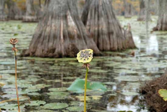 Billy Carter's Go-Devil Tours: Caddo Lake Lotus Pod