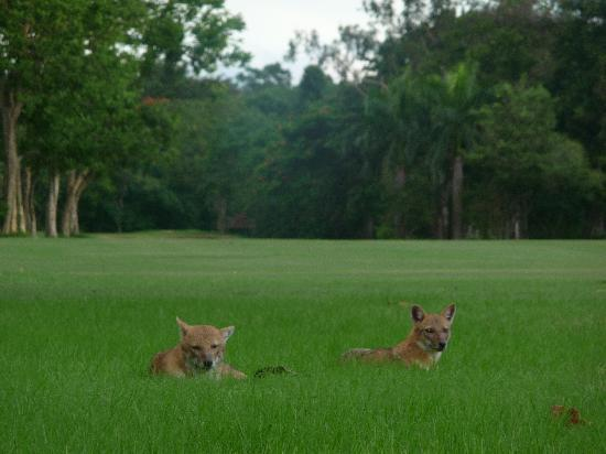 Tollygunge Club: Jackals that live at the Tolly (completely harmless!)