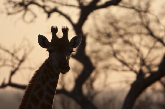 Jock Safari Lodge: Giraffe