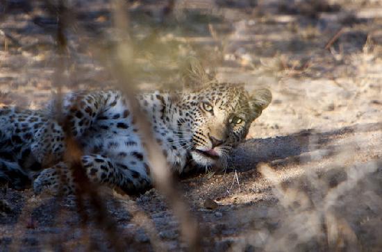 Jock Safari Lodge: Leopard