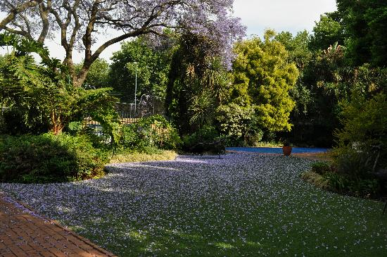 Cotswold Gardens Guest House: Garden with a carpet of Jacaranda blossoms