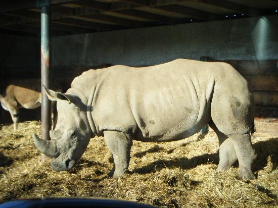 Woburn Safari Park: rhino