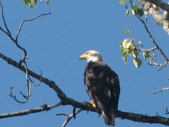 Willow Point Beach House B&B: the bald eagle sharing the tree outside our window