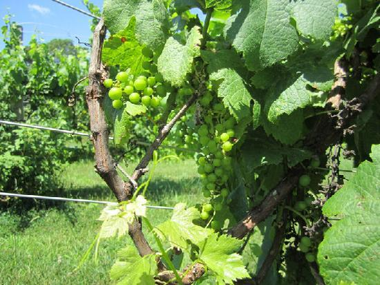 Cape Cod Winery: Grapes
