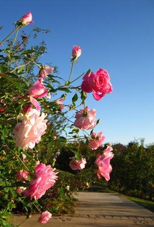 Yachiyo, اليابان: 薔薇の道