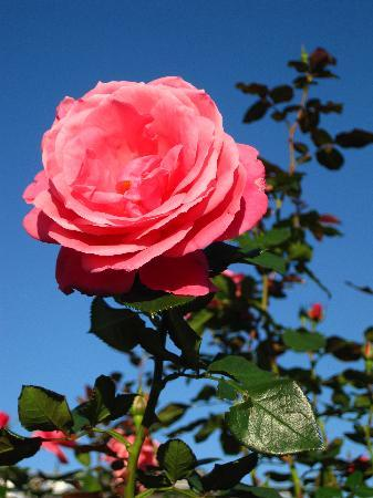 Keisei Rose Garden : 青空に薔薇が映えます