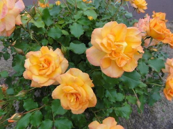 Haboro Rose Garden: バラ