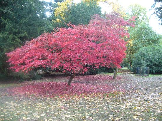 Tetbury, UK: Another Acer