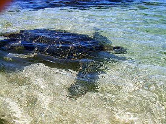 sea turtle near shore
