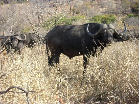 Punda Maria Restcamp: Büffel im Krüger