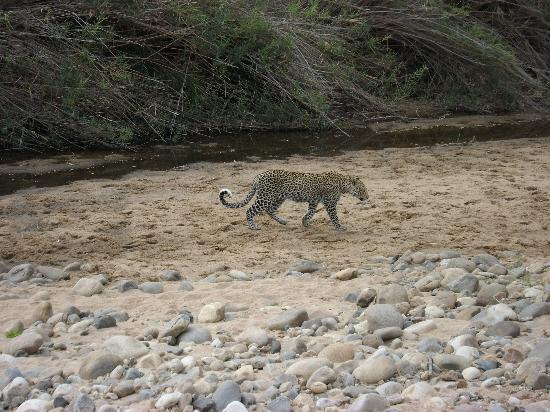 Punda Maria Restcamp: Leopard im Park