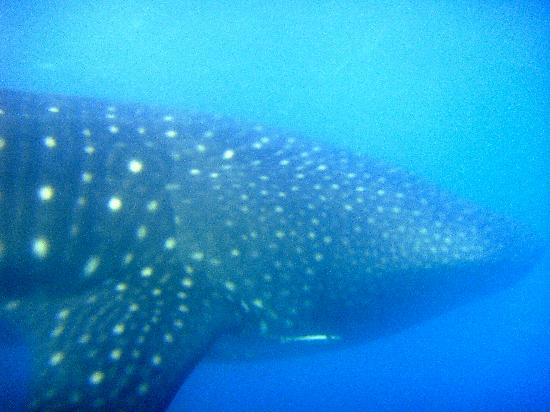 Donsol Whale Shark Interaction: underwater photo of the whale shark