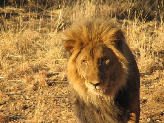 Amani Lodge: le lion