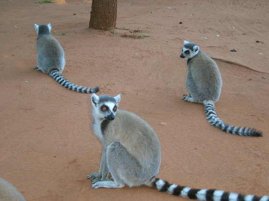 Berenty Private Reserve, Madagascar : Ring-tailed lemurs