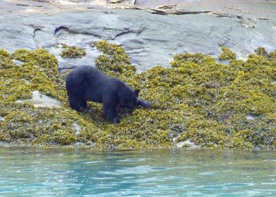 Tracy Arm Fjord: Black bear up close