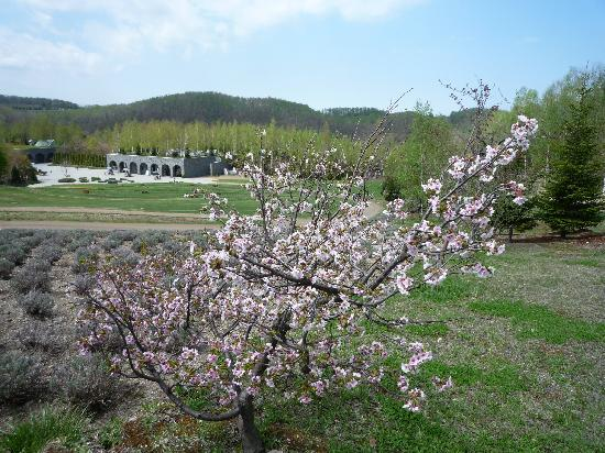 Takino Suzuran Hillside National Park: えぞ桜