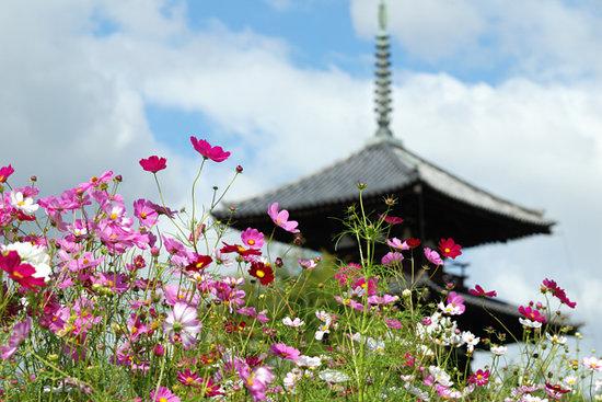 Ikaruga-cho, Japan: コスモスと三重塔