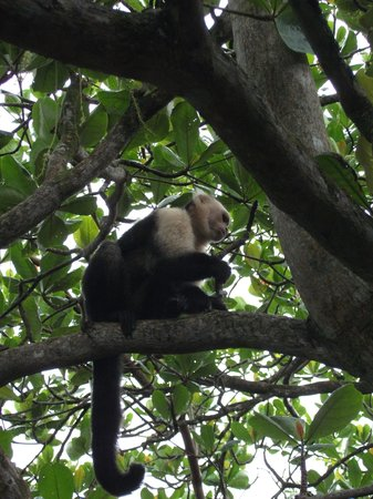 Cahuita, Costa Rica: Kapuzieneräffchen