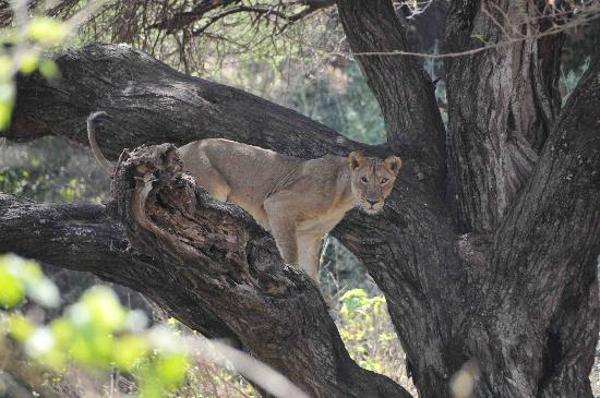 Kirurumu Manyara Lodge: Lake Mamyara - Tree Climbing Lion