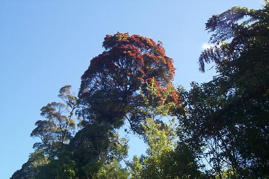 Wetland View Park : Native rata tree in full flower