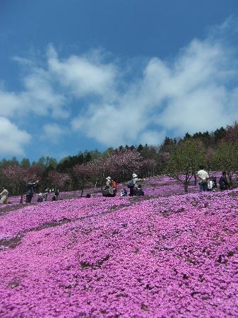 Shibazakura Takinoue Park: ピンクの斜面と青空のコントラスト!