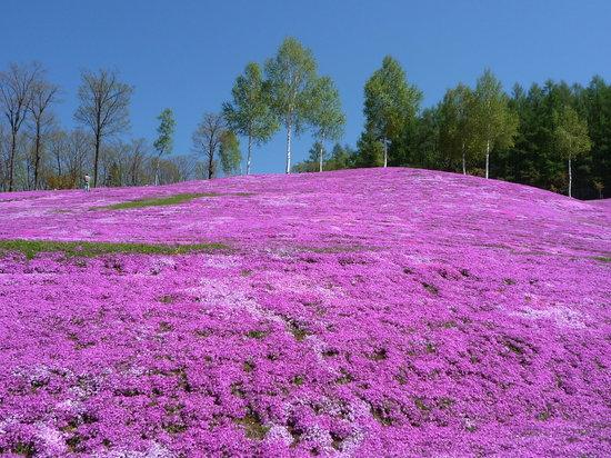 滝上町, 北海道, 綺麗な芝桜です