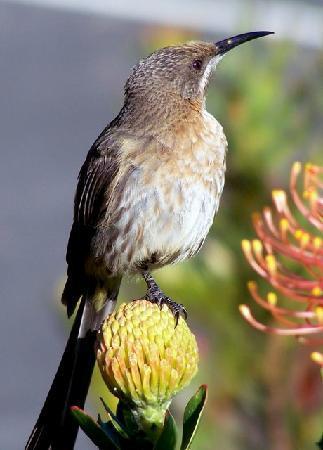 "Haus Giotto B + B: Cape Sugarbird for your ""Suikerbekkie Suite"""