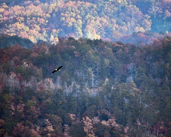 PaddleFish Kayaking - Private Day Trips: Bald eagle rides thermals up to the overlook