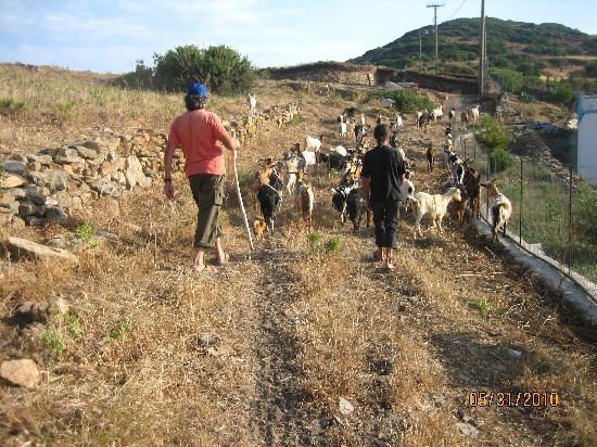 Pantelis Marathi Island Resort: Goat herding on Marathi