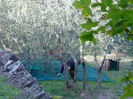 Monticchiello, İtalya: Men harvesting olives right outside my bedroom!