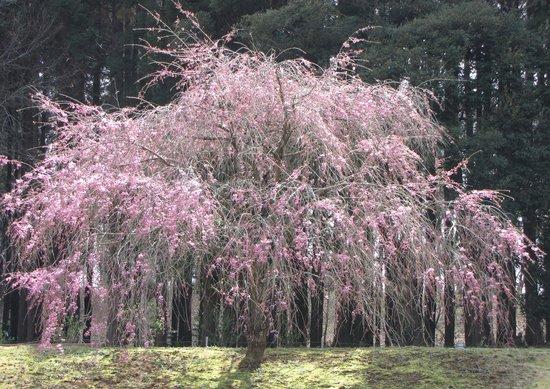 Sakura, Japón: しだれ桜も、本当に見事です