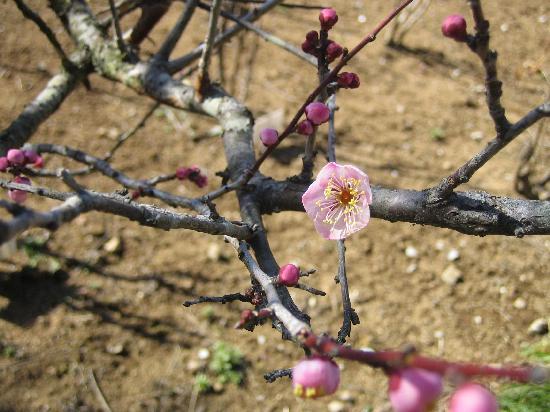 Noda, ญี่ปุ่น: 花ファンタジアには梅も沢山あります。2月撮影