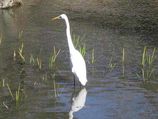 Noda, ญี่ปุ่น: 散策路の池にシラサギが来てました