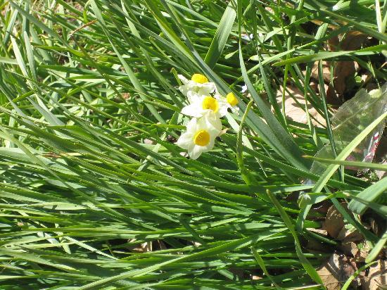 Shimizu Park: 馨しい香りのスイセンもたくさん咲いてました